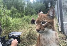 lynx_Oak Island Films Hello H